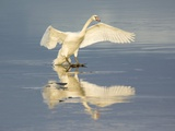 Mute Swan Landing on Icy Water Photographic Print by Duncan Shaw