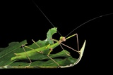 Calvisia Stick Insect Photographic Print by Robbie Shone