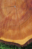 Growth Rings of a Scots Pine Tree Poster by Duncan Shaw