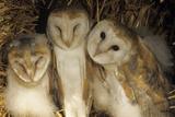 Young Barn Owls Fotoprint van Duncan Shaw