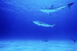 Caribbean Reef Sharks Prints by Alexis Rosenfeld