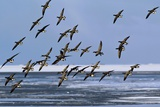 Brent Goose Flock In Flight Print by Duncan Shaw