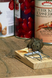 Mouse with Mousetrap Photographic Print by Peter Scoones