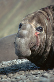 Southern Elephant Seal Photographic Print by Peter Scoones