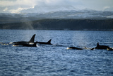 Killer Whales Photographic Print by Alexis Rosenfeld