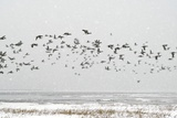 Brent Goose Flock In Flight Prints by Duncan Shaw