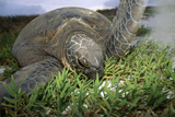 Green Turtle on a Beach Photographic Print by Alexis Rosenfeld