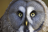 Great Grey Owl Fotoprint van Duncan Shaw