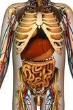 Internal Torso Anatomy, Artwork Posters by Friedrich Saurer