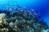 Schooling Fish Photographic Print by Alexis Rosenfeld
