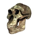 Australopithecus Boisei Skull Photographic Print by Friedrich Saurer