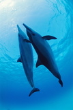 Spinner Dolphins Photographic Print by Alexis Rosenfeld
