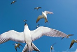 Arctic Terns In Flight Photographic Print by Alexis Rosenfeld
