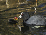 Adult Coot Feeding Its Chick Photographic Print by Duncan Shaw
