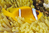 Twoband Anemonefish Posters by Alexis Rosenfeld