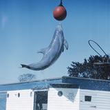 Dolphin Leaping for Ball Photographic Print by Peter Scoones