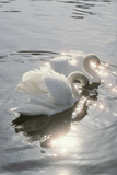 Mute Swans Print by Peter Scoones