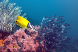 Longnose Butterflyfish Prints by Peter Scoones