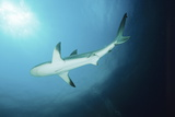 Caribbean Reef Shark Photo by Alexis Rosenfeld