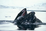 Humpback Whale Photographic Print by Peter Scoones