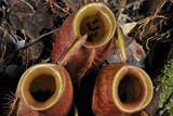 Flask-shaped Pitcher Plant Photographic Print by Robbie Shone