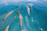 Spinner Dolphins Swimming Photographic Print by Alexis Rosenfeld