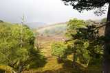 Rainbow Over a Scots Pine Forest Photo by Duncan Shaw