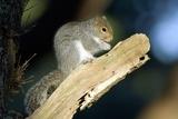 Grey Squirrel Feeding Print by Duncan Shaw