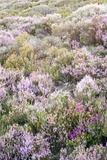 Ling Heather (Calluna Vulgaris) Photographic Print by Duncan Shaw