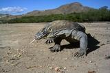 Komodo Dragon Fotografie-Druck von Peter Scoones