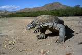 Komodo Dragon Photographic Print by Peter Scoones
