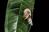 Tropical Snail Photographic Print by Robbie Shone