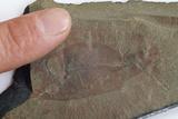Fossil Crustacean Prints by Alan Sirulnikoff