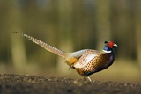 A Male Pheasant Prints by Duncan Shaw
