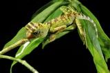 Borneo Forest Dragon Lizard Fotografie-Druck von Robbie Shone