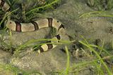 Harlequin Snake Eel Poster von Alexis Rosenfeld
