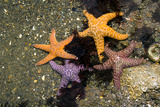 Ochre Sea Stars Photo by Peter Scoones