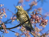 Mistle Thrush Feeding on Berries Photographic Print by Duncan Shaw