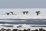 Brent Geese In Flight Print by Duncan Shaw