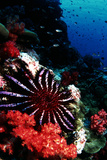 Crown-of-thorns Starfish Prints by Peter Scoones