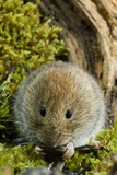 Bank Vole Photographic Print by Duncan Shaw