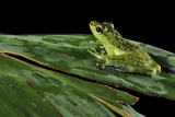 Tropical Frog Photographic Print by Robbie Shone