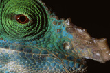 Chameleon's Head Photographic Print by Alexis Rosenfeld