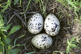 Eurasian Oystercatcher Nest Photographic Print by Duncan Shaw