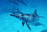 Spinner Dolphins Photo by Alexis Rosenfeld