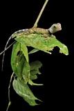 Borneo Forest Dragon Lizard Posters par Robbie Shone