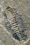 Trilobite Fossil Photographic Print by Alan Sirulnikoff