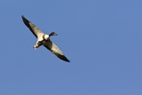 Common Shelduck In Flight Posters by Duncan Shaw