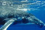 Humpback Whale Photographic Print by Alexis Rosenfeld