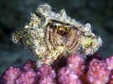 Hermit Crab Photographic Print by Alexander Semenov